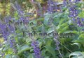 Meahly Blue Sage - Salvia farinacea 1 gallon