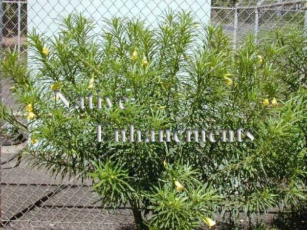 Mexican Oleander – Thevetia spp. 5 gallon - Click Image to Close