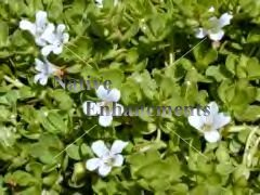 Smooth Water Hyssop - Bacopa monnieri / Bare Root