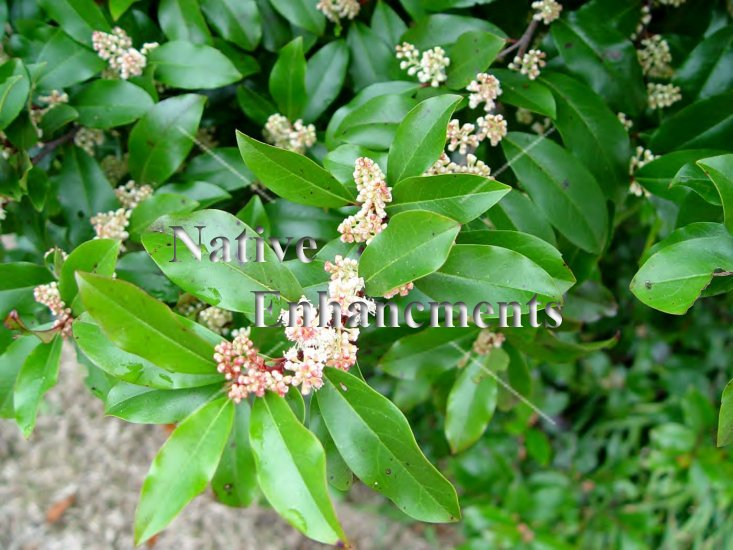 Cherry Laurel - Prunus caroliniana 5 gallon - Click Image to Close