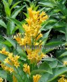 Orange Cestrum - Cestrum aurantiacum 5 gallon