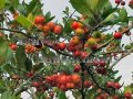 Mayhaw - Crataegus opaca 5 gallon