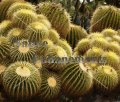 Golden Barrel Cactus - Echinocactus grusonii 1 gallon