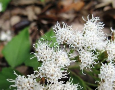 Fragrant Mist Flower - Eupatorium havanense 5 gallon