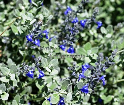 Germander Sage - Salvia chamaedryoides 1 gallon