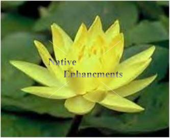 Yellow Water Lily - Nymphae mexicana / Bare Root