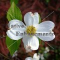 Flowering Dogwood - Cornus florida 5 gallon