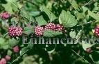 American Beauty Berry - Callicarpa americana 5 gallon