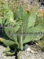 Cow Tongue Prickly Pear - Opuntia linguiformis 5 gallon
