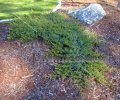 Creeping Juniper - Juniperus horizontalis 1 gallon