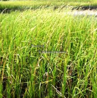 Smooth Cordgrass - Spartina alternifolia / Plug