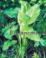 Arrow Arum - Peltandra virginica / Plug