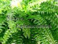 Sword Fern – Nephrolepis exaltata 1 gallon