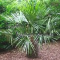 Needle Palm - Rhapidophyllum hystrix 15 gallon