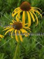 Yellow Coneflower - Echinacea paradoxa 1 gallon