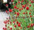 Globe Amaranth - Gomphrena haageana 1 gallon