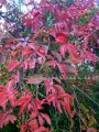 Virginia Creeper - Parthenocissus quinquefolia 1 gallon