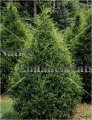 Eastern Red Cedar – Juniperus virginiana 5 gallon