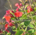 Eyelash Leaved Salvia - Salvia blepharophylla 1 gallon
