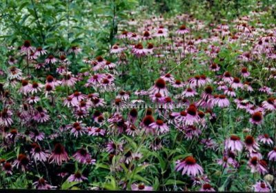 Purple Coneflower - Echinacea purpurea 1 gallon