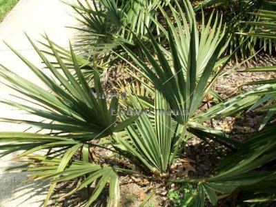 Palmetto – Sabal minor 5 gallon