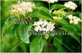 Roughleaf Dogwood - Cornus drummondii 5 gallon