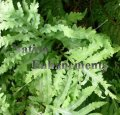 Sensitive Fern - Onoclea sensibilis 1 gallon