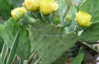 Old Mex. Spineless Prickly Pear - Opuntia gomei 5 gallon
