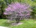 Eastern Redbud – Cercis canadensis 5 gallon