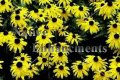 Black Eyed Susan - Rudbeckia hirta 1 gallon