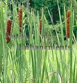 Cattail - Typha latifolia / Bare Root Bundle