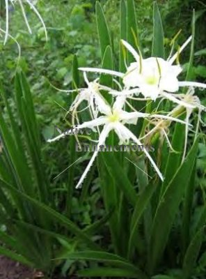 Spider Lily - Hymenocallis liriosme 1 gallon