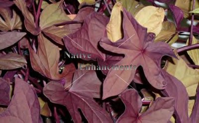 Sweet Potato Vine - Ipomoea batatas 1 gallon