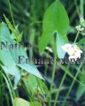 Duck Potato - Sagittaria latifolia / Plug