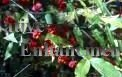 Strawberry Bush - Euonymus americana 5 gallon