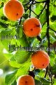 Common Persimmon - Diospyros virginiana 5 gallon