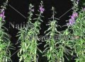 Angelonia - Angelonia angustifolia 1 gallon