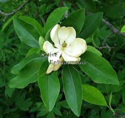 Sweetbay Magnolia Magnolia Virginiana 5 Gallon Tree Swby5