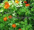Mexican Sunflower - Tithonia rotundifolia 4 inch