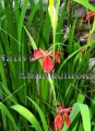 Copper Iris - Iris fulva 1 gallon