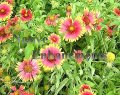Indian Blanket - Gaillardia pulchella 4 inch