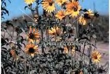 Maximilian Sunflower - Helianthus maximiliana 1 gallon