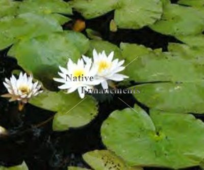 White Water Lily - Nymphaea odorata