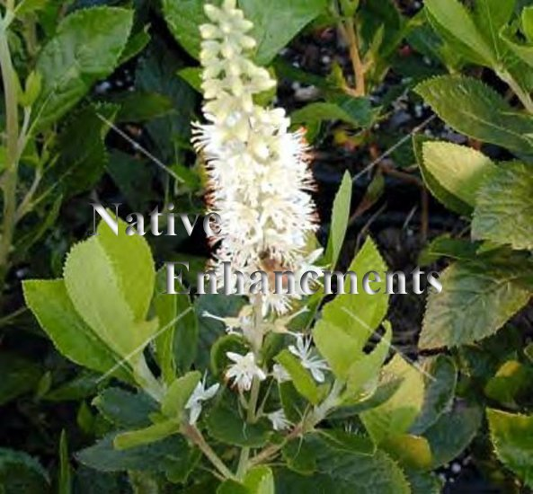 Sweet Pepper Bush - Clethra alnifolia - Click Image to Close