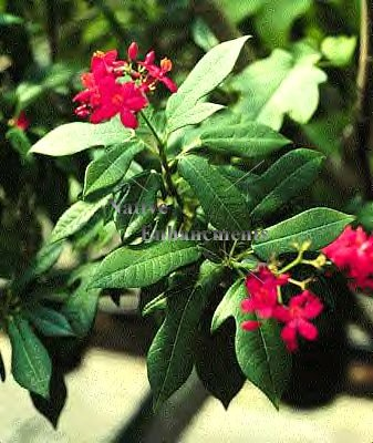 Spicy Jatropha – Jatropha integerrima 5 gallon