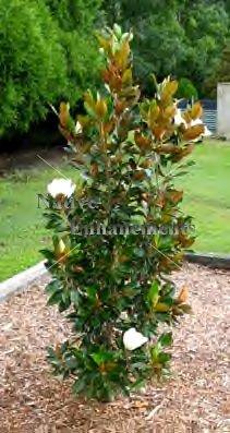S magnolia little gem magnolia grandiflora 5 gallon tree s magnolia little gem magnolia grandiflora 5 gallon sciox Gallery