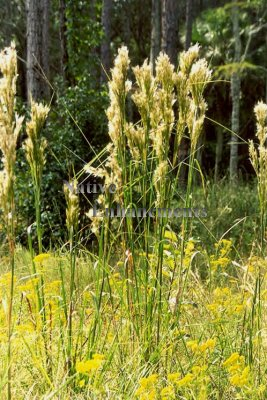 Brushy Bluestem - Andropogon glomeratus 1 gallon