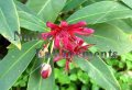 Florida Anise - Illicium floridanum 5 gallon