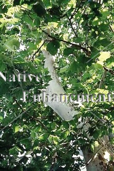 American Sycamore - Platanus occidentalis 5 gallon - Click Image to Close