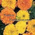 African Marigold - Tagetes erecta 4 inch